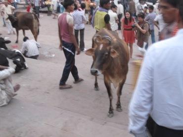 Vacas e mais vacas