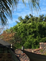 Cockatoos no topo das árvores