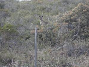 Canguru cinza - primeiro que vi solto na natureza
