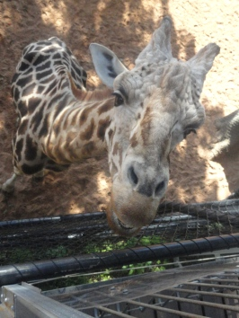 Na torre vendo a girafa Armani